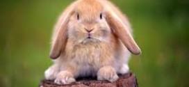 la tigna nel coniglio