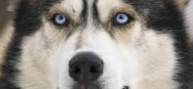 come addestrare il siberian husky